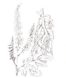 Клопогон, корневище клопогона - Cimicifugae rhi/oma (ранее: Rhizoma Cimicifugae).