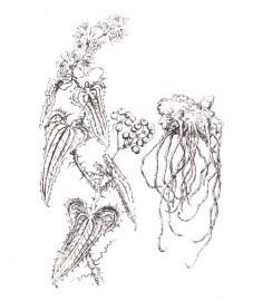 Сассапариль, корень сассапариля - Sarsaparillae radix (ранее: Radix Sarsaparillae).