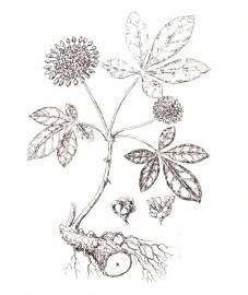 Элеутерококк, или свободноягодник, корень элеутерококка - Eleutherococci radix (ранее: Radix Eleutherococci).