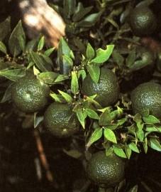 Бергамот, бергамотовое масло - Bergamottae aetheroleum (ранее: Oleum Beigamottae).