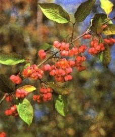 Бересклет европейский, епископская шапка, веретенное дерево. плоды бересклета - Euonymi fructus (ранее: Fractus Euonymi), листья бересклета - Euonymi folium (ранее: Folia Euonymi), кора бересклета - Euonymi cortex (ранее: Cortex Euonymi)