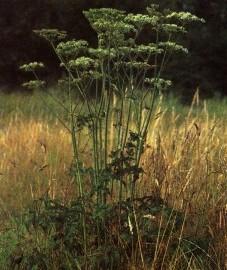 Борщевик обыкновенный, трава борщевика обыкновенного - Heraclei spondylii herba (ранее: Herba Heraclei spondylii, Herba Brancae ursinae).