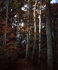 Бук лесной, деготь, который получают из древесины путем сухой перегонки (нагревание при отсутствии доступа воздуха), - Fagi pix (ранее: Pix Fagi).