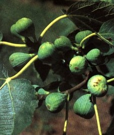 Инжир, смоква, фиговое дерево, смоковница. Carica (ранее: Caricae).