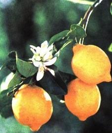 Лимон, кожура лимона - Citrifructus cortex (ранее: Cortex Citri fructus)