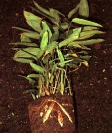Маранта, стреловидный корень. крахмал из клубней маранты - Marantae amylum (ранее: Amylum Marantae)