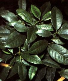 Парагвайский чай, или мате, листья мате - Mate folium (ранее: Folia Mate).