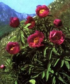 Пион лекарственный, крестьянская роза, подагровая роза. цветки пиона - Paeoniae flos (ранее: Flores Paeoniae).