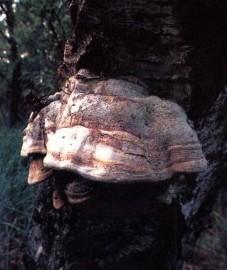 Трутовик настоящий, кровяная губка. ткань плодового тела гриба - Fungus chirurgorum.