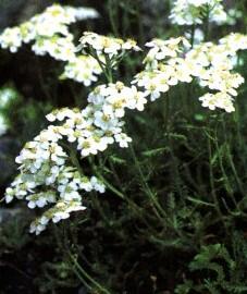 Тысячелистник мускусный, мускусная трава, цикламеновая трава. трава тысячелистника мускусного - Ivae moschatae herba (ранее: Herba Ivae moschatae).