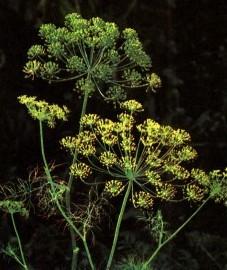 Укроп душистый, огуречный тмин, трава от газов. плоды укропа - Anethi fructus (ранее: Fructus Anethi).