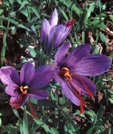 Шафран посевной, шафран (желтоватые рыльца цветков) - Croci stigma (ранее: Crocus).