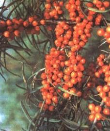 Облепиха крушиновидная, луговой колючник, дюнный колючник, фазановая ягода, лагунный колючник, красный терновник, песчаная ягода, плоды облепихи - Hippophae rhamnoides fractus (ранее: Froctus Hippophae rhamnoides)