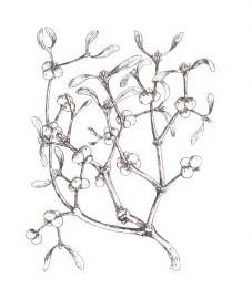Омела белая, ведьмино гнездо, птичья омела, зимние семечки, козьи орешки, птичьи орешки. Аптечное наименование: трава омелы - Visci heiba (ранее: Herba Visci albi)