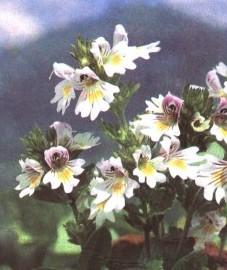 Очанка, Аптечное наименование: трава очанки - Euphrasiae herba (ранее: Herba Euphrasiae)