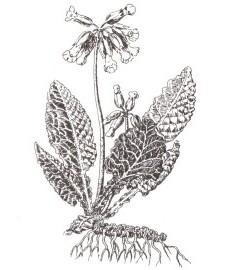 Первоцвет весенний, ушки, небесные ключики, цветы святого Петра, баранчики, золотые ключики. Аптечное наименование: корень первоцвета - Primulae radix (ранее: Radix Primulae), цветки первоцвета - Primulae flos (ранее: Flores Primulae)