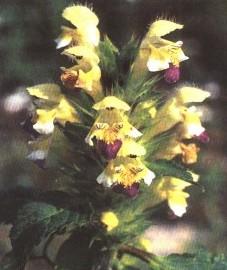 Пикульник посевной, кровяной чай, пожарная трава, пуховая крапива. Аптечное наименование: трава пикульника - Galeopsidis herba (ранее: Herba Galeopsidis)