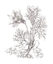 Прострел обыкновенный, коровий прострел, сон-трава, ветроцвет. Аптечное наименование: трава прострела - Pulsatillae herba (ранее: Herba Pulsatillae)