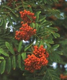 Рябина обыкновенная, Аптечное наименование: плоды рябины - Sorbi fructus (ранее: Fructus Sorbi)