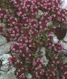 Тимьян блошиный, чабрец, горный тимьян. трава тимьяна - Serpylli herba (ранее: Herba Serpylli)