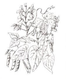 Фасоль обыкновенная, створки бобов фасоли - Phaseoli pericarpium (ранее: Fructus Phaseoli sine semine).