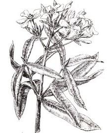 Олеандр, листья олеандра - Oleandri folium (ранее: Folia Oleandri).