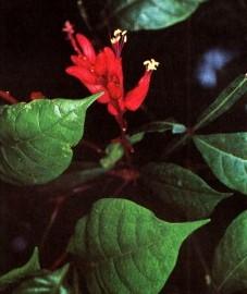 Пикрасма высокая и Квассия горькая, Quassiae lignum (ранее: Lignum Quassiae).