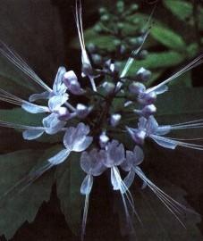 Почечный чай, листья почечного чая - Orthosiphonis folium (ранее: Folia Orthosiphonis).